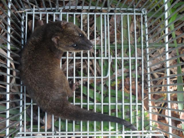20120522 Fazenda Licenciamento Mastofauna mamíferos 015.jpg